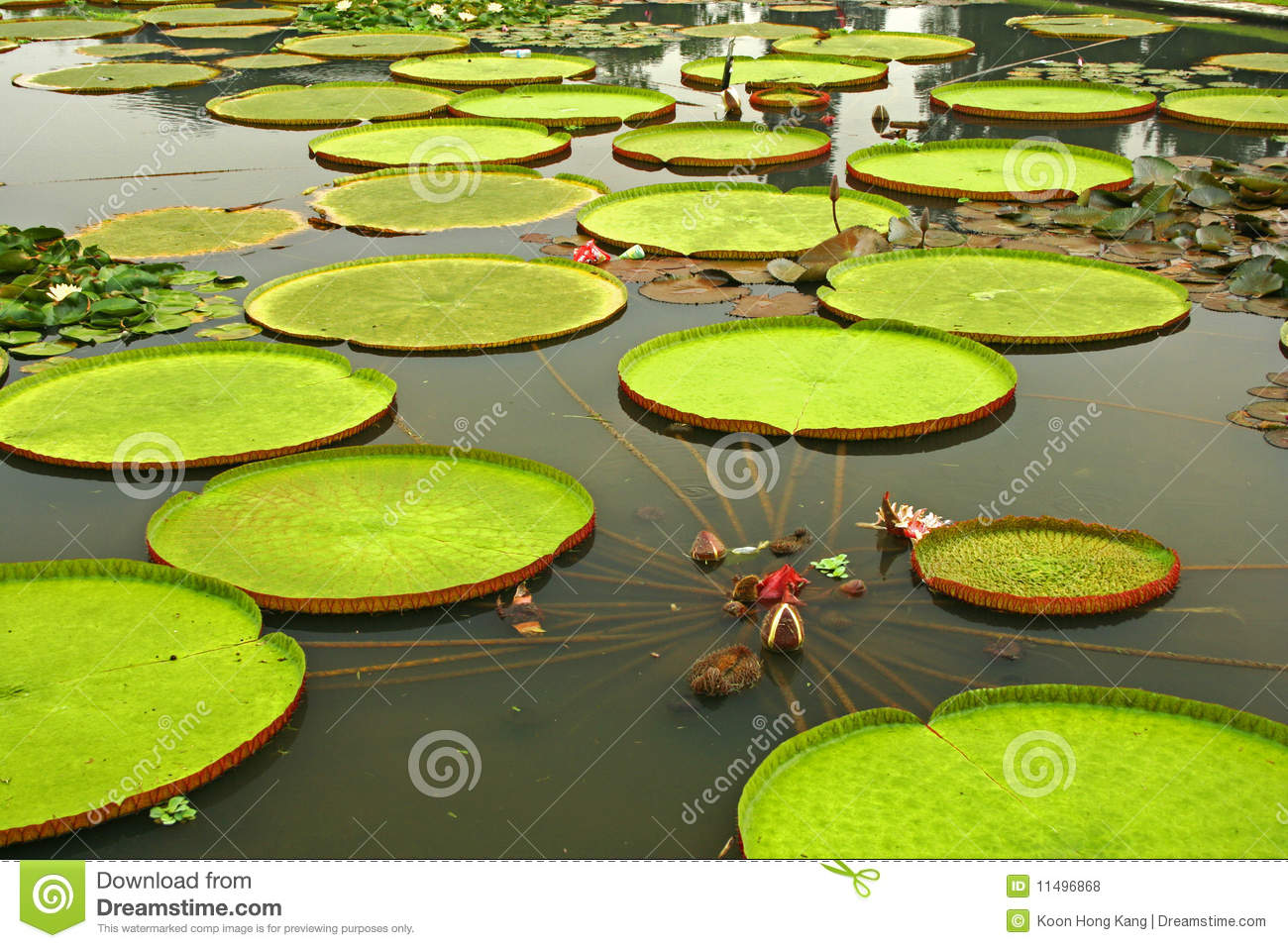 Giant Leaves Of Amazonian Water Lilies Royalty Free Stock Photos.