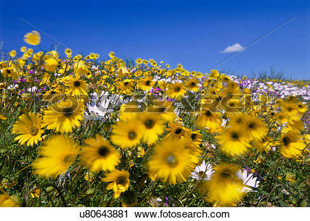 Stock Photography of Daisies in wind, Asteraceae family.