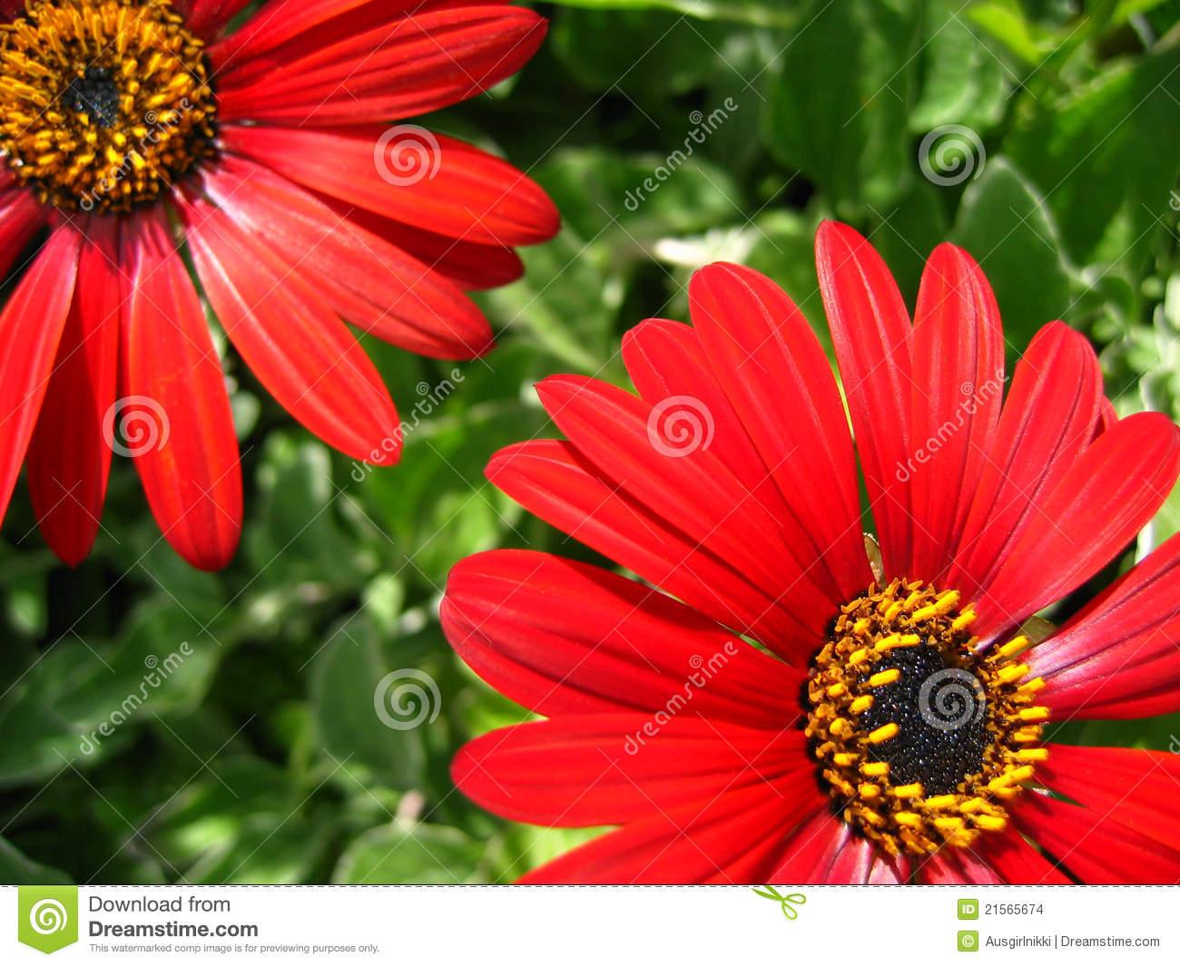 Genus Arctotis Family Asteraceae Or African Daisy Stock Images.