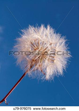 Stock Image of Plant belonging to Compositae Asteraceae family.