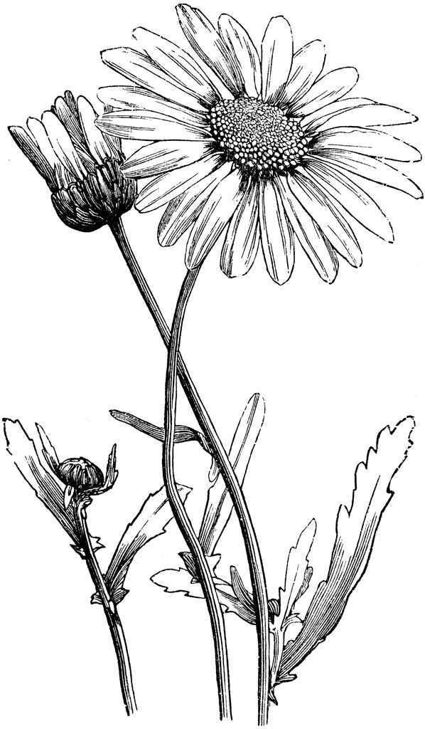 10 Best ideas about Daisy Drawing on Pinterest.