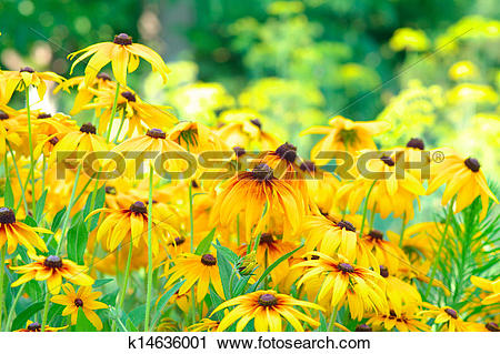 Stock Photography of Summer Floral Background of Rudbeckia Flowers.