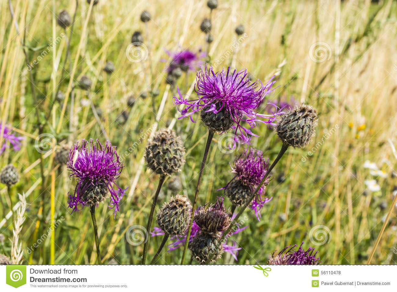 Perennial Plant Of The Asteraceae Family Stock Photo.