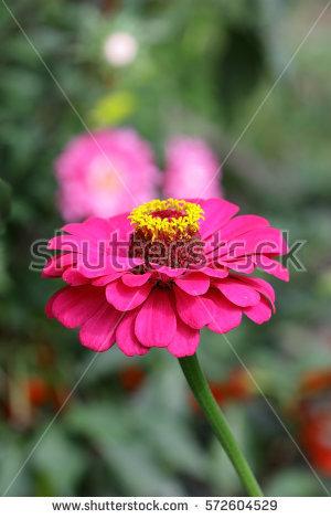 Asteraceae Stock Photos, Royalty.