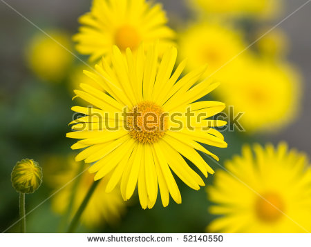 Summer Yellow Flowers Doronicum. Ornamental Plant In The.