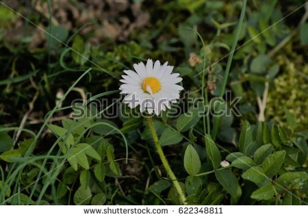 Asteraceae Family Stock Images, Royalty.