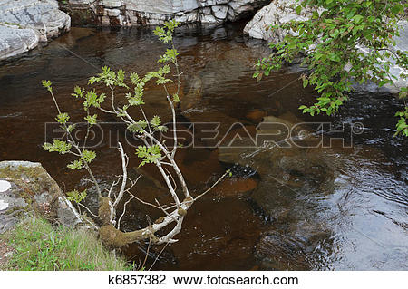 Stock Photo of Mountain Ash on the bank of the River Feshie near.