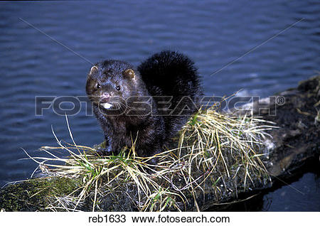 Stock Photo of MINK ON STREAM BANK reb1633.