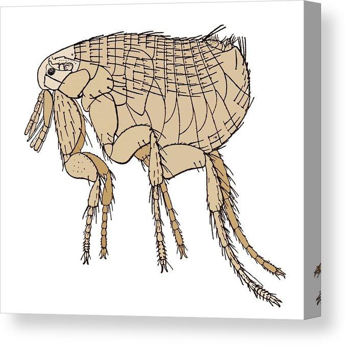 Black Death Rat Flea, Artwork Canvas Print.