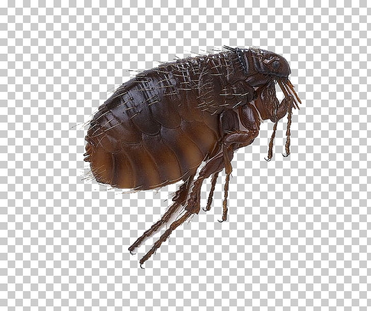 Black Death Fleas and Lice Head louse Sucking louse, Flea.