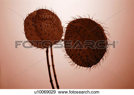 Stock Photograph of Cut Out, Lotus & Plant, Two Objects, Brown.