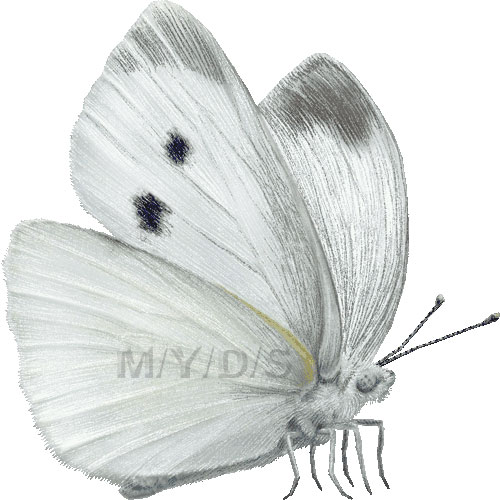 Small White, Small Cabbage White Butterfly clipart graphics (Free.