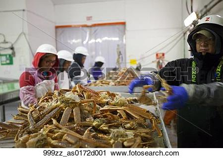 Stock Photography of Cannery workers process Tanner Crab on the.