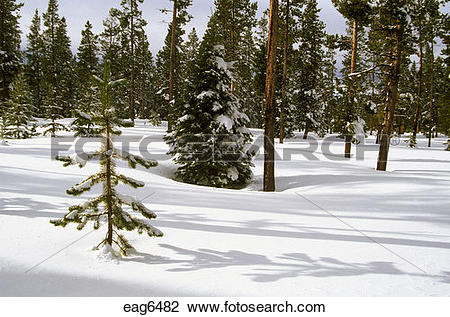 Stock Photo of PINE TREES protrude from virgin SNOW in THREE.