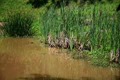 Reeds At The Edge Of The Pond Royalty Free Stock Image.