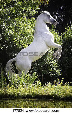 Stock Photo of Tiger Horse. A grey horse rearing at the edge of a.