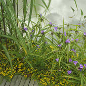 Stock Photograph of Creeping jenny and spiderwort by the edge of a.