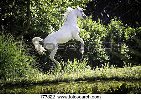 Stock Photo of Tiger Horse. A grey horse performing a courbette at.