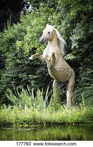 Stock Photo of Quarter Pony. Palomino stallion rearing at the edge.
