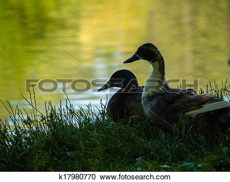 Stock Photography of Two Ducks in Silhouette at the Edge of a Pond.