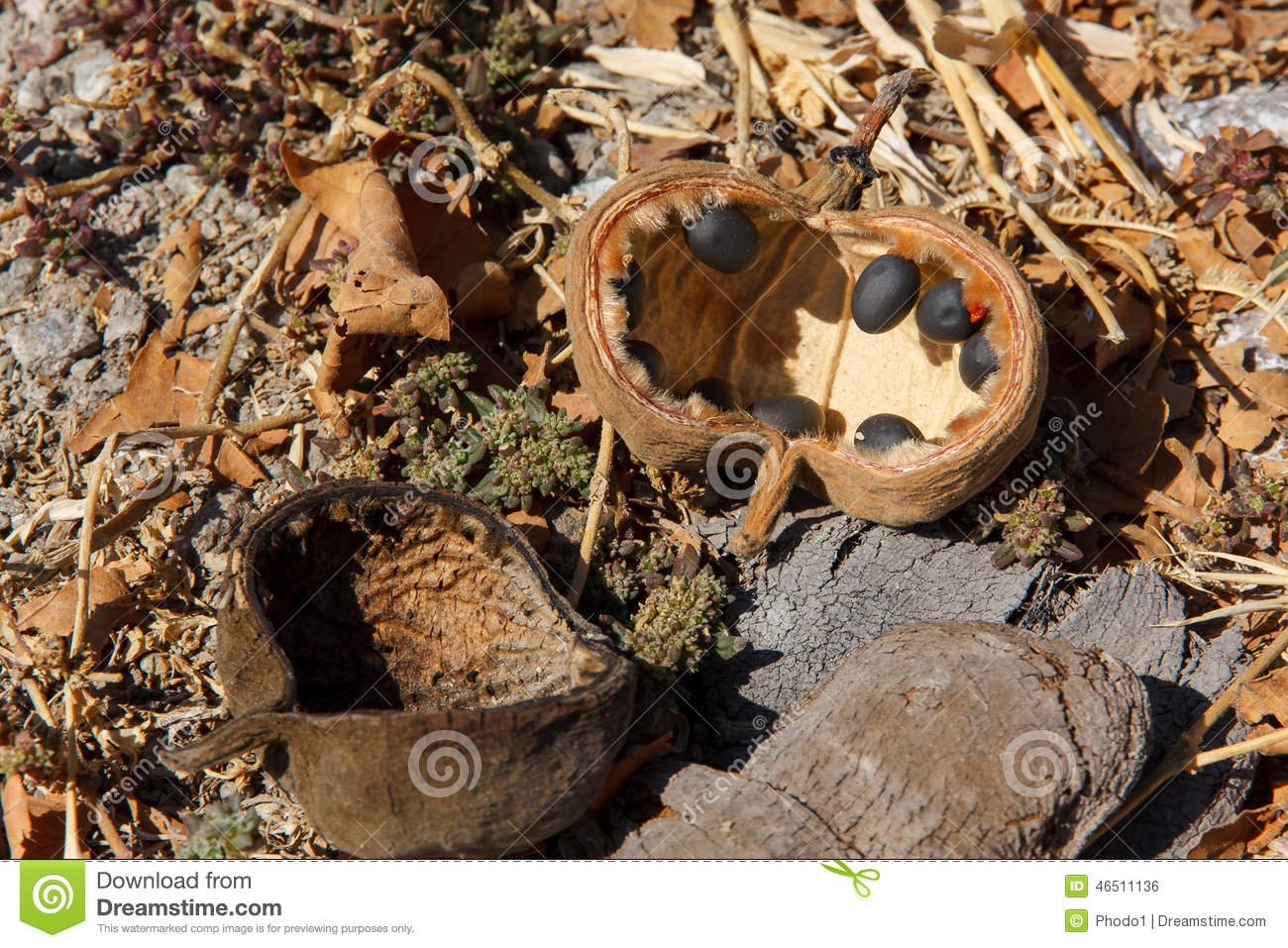 Baobab Tree Fruit And Seeds Fallen On The Ground Stock Photo.