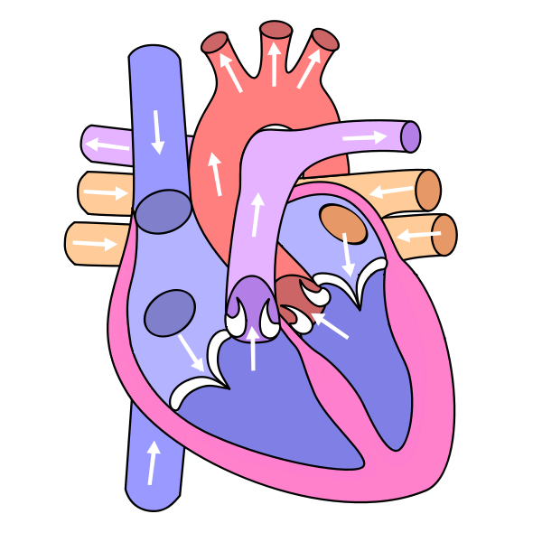 Unlabeled Heart Diagram.