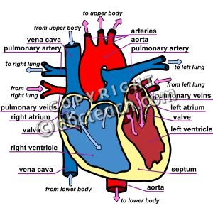 Labeled Human Heart Clipart.