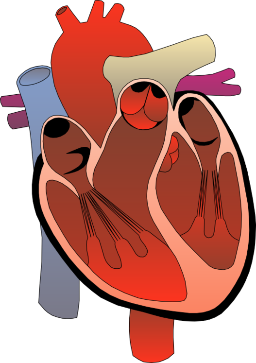 Heart Real Clipart.