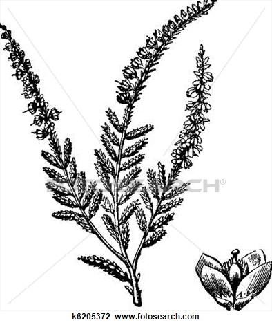 Heather Plant Clipart.
