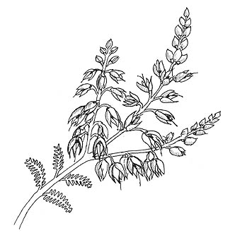Heather flower clipart.