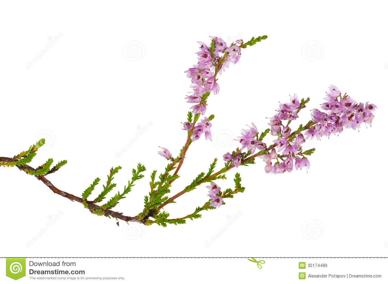 Gallery For > Heather Plant Clipart.