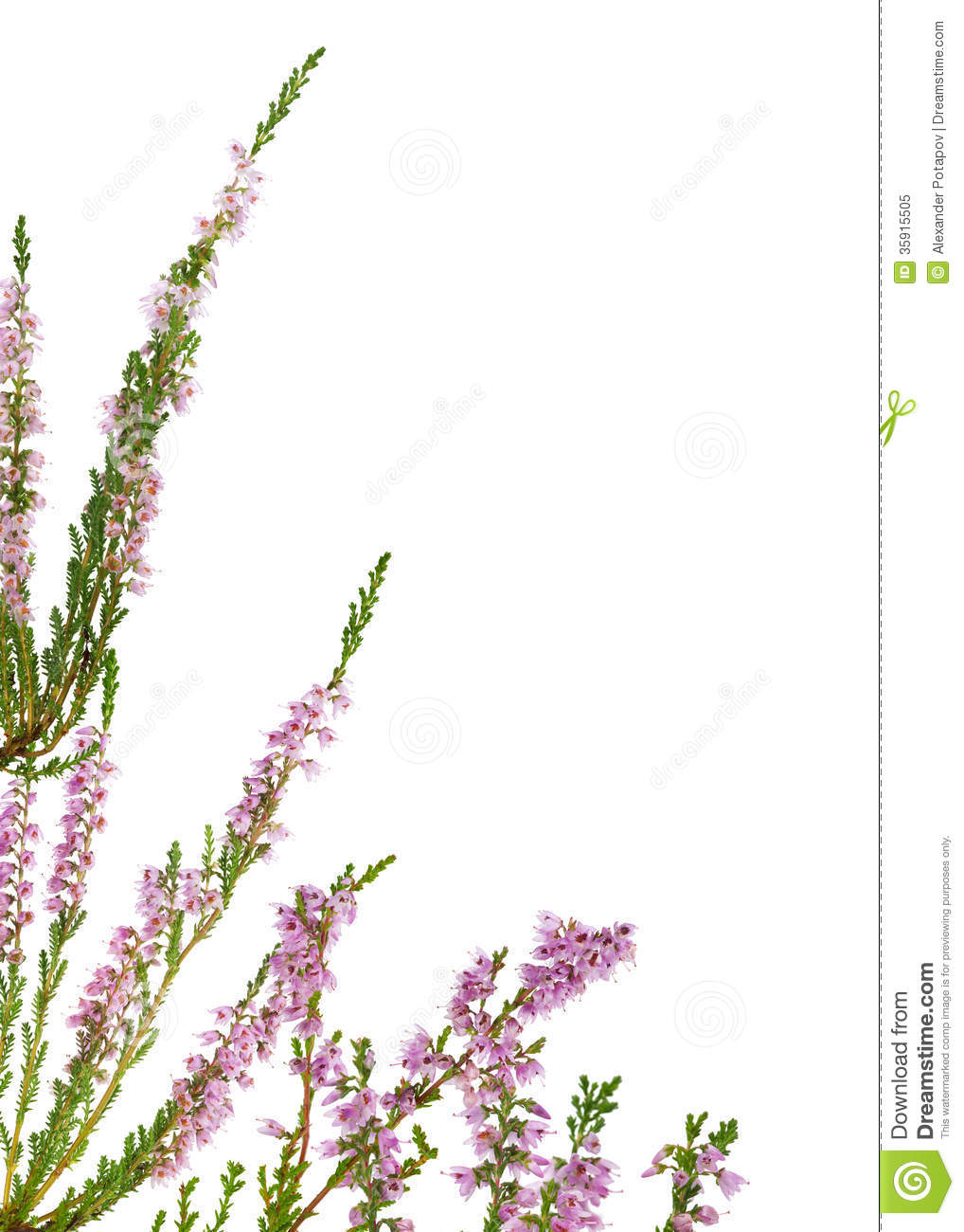 Isolated Pink Blossoming Heather Corner Royalty Free Stock Photo.