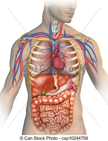 Image result for human body clipart