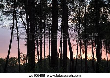 Stock Image of Silhouette of pine trees at dusk in the Landes.