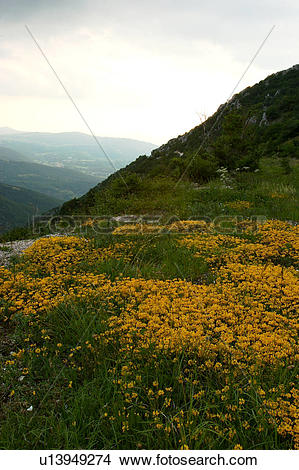 Stock Photo of Yellow wild flowers on mountainside, landscape view.