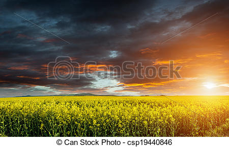 Stock Photo of Huge canola,colza,rape field before storm with.