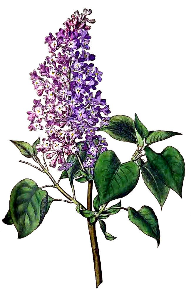 17 Best images about I Love Lilacs on Pinterest.