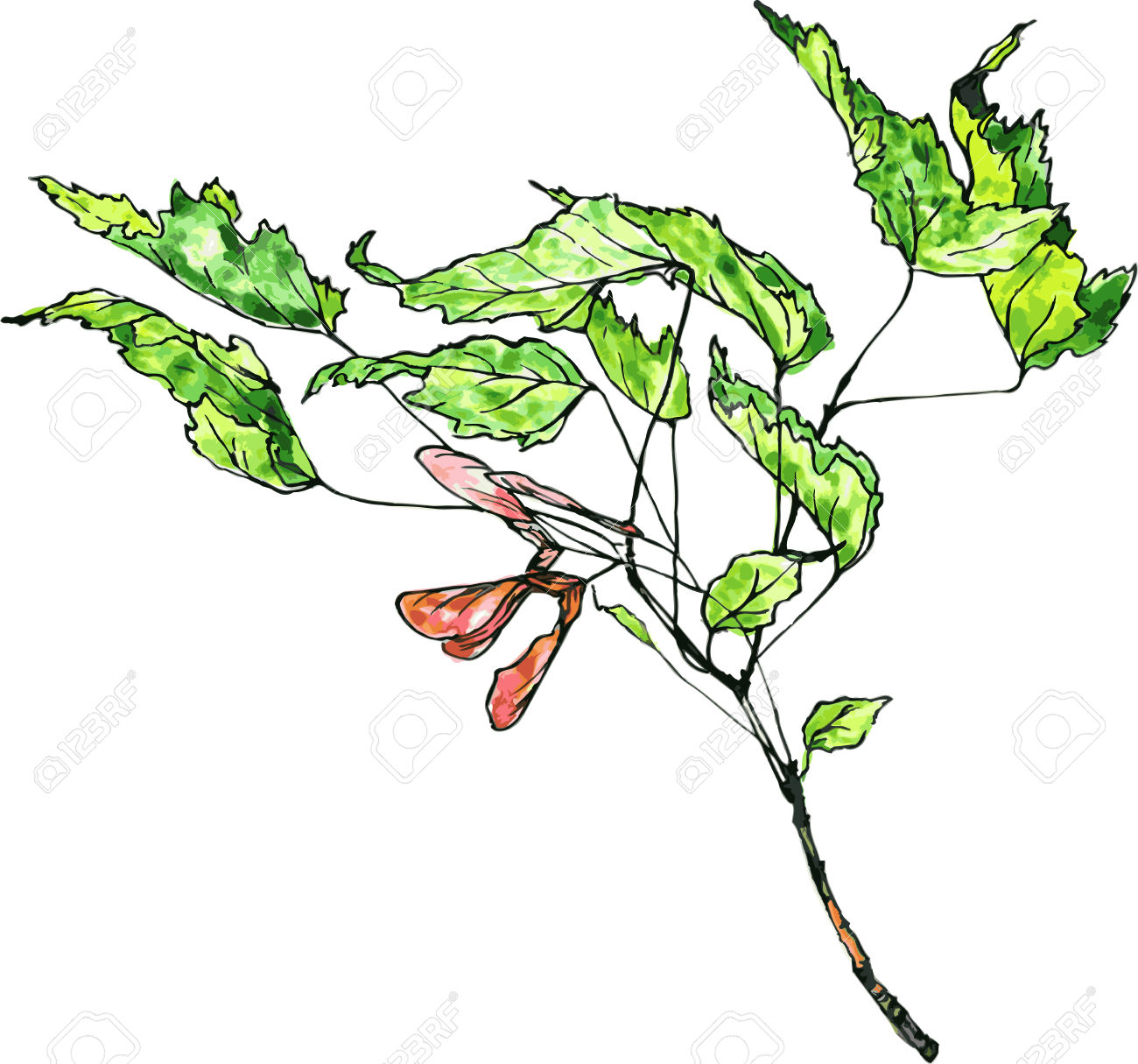 Hand Drawn Vector Watercolor Drawing Maple Twig With Green Leaves.