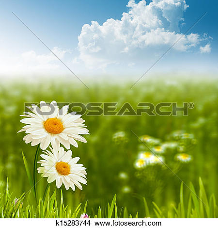 Stock Photo of Beauty daisy flowers on the meadow, environmental.