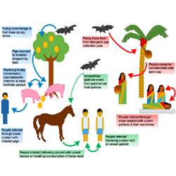 Nipah Virus: Symptoms, prevention, treatment of the.