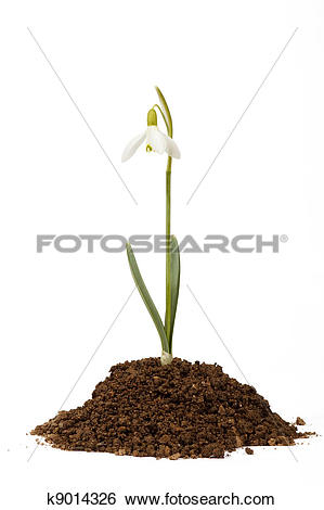 Stock Images of snowdrop first messenger of spring in the soil.