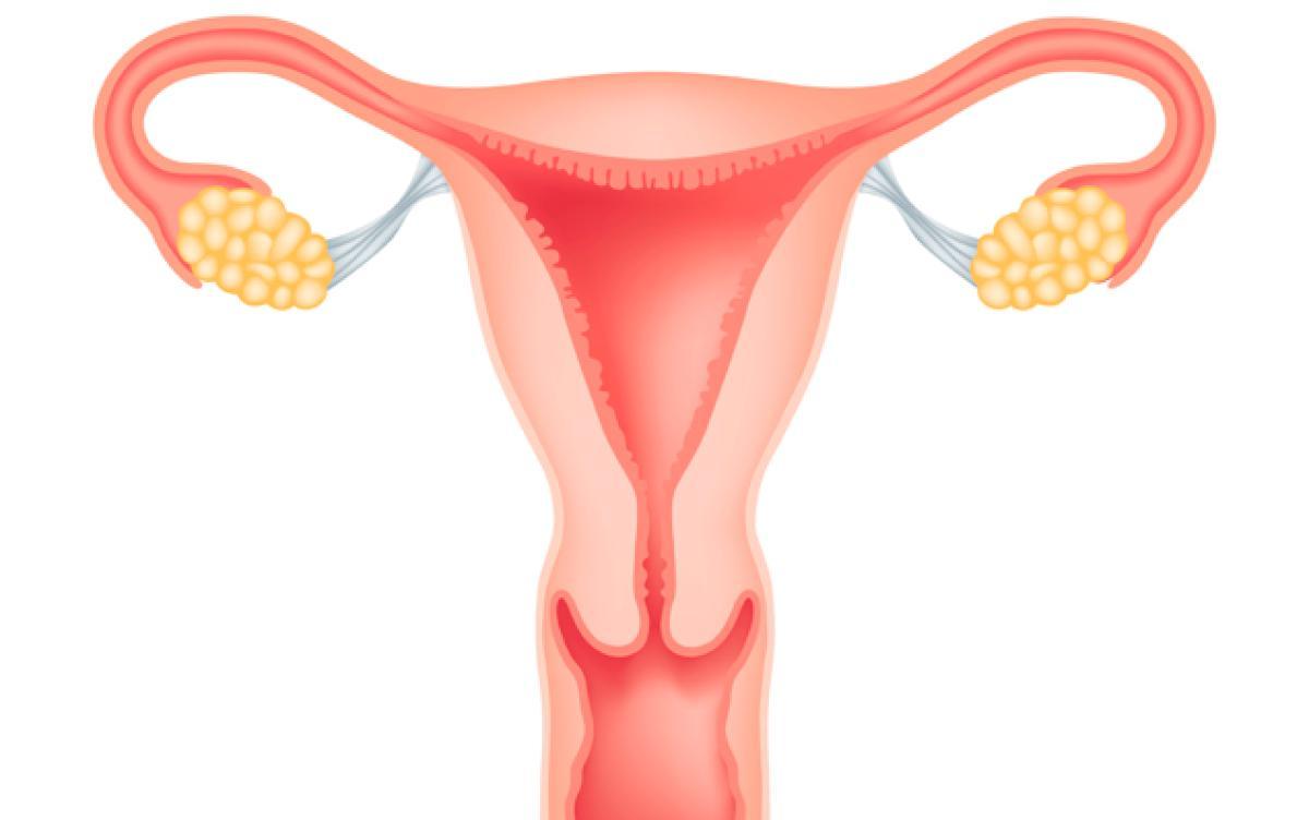 Uterus Clipart.