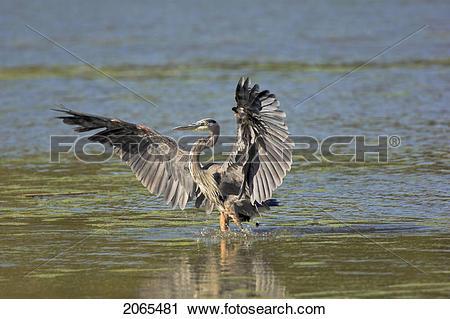 Stock Photography of Great Blue Heron (Ardea Herodias) Flies.