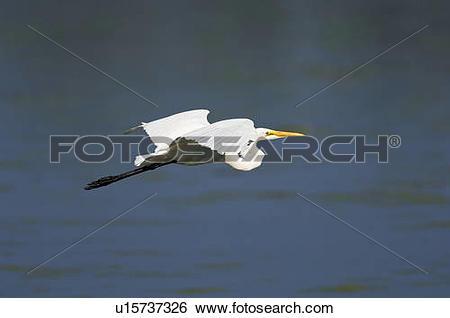 Stock Images of Great Egret or Common Egret (Casmerodius albus) in.