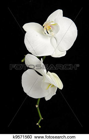 Stock Photography of White phalaenopsis orchid flowers against.