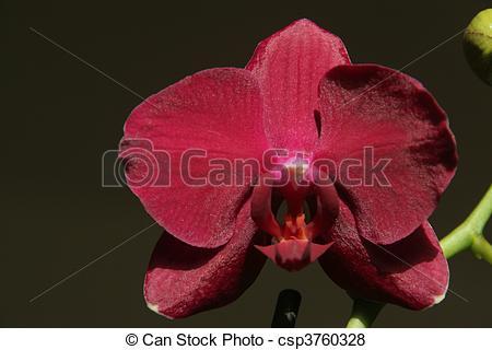 Stock Illustration of dark red phalaenopsis orchid csp3760328.