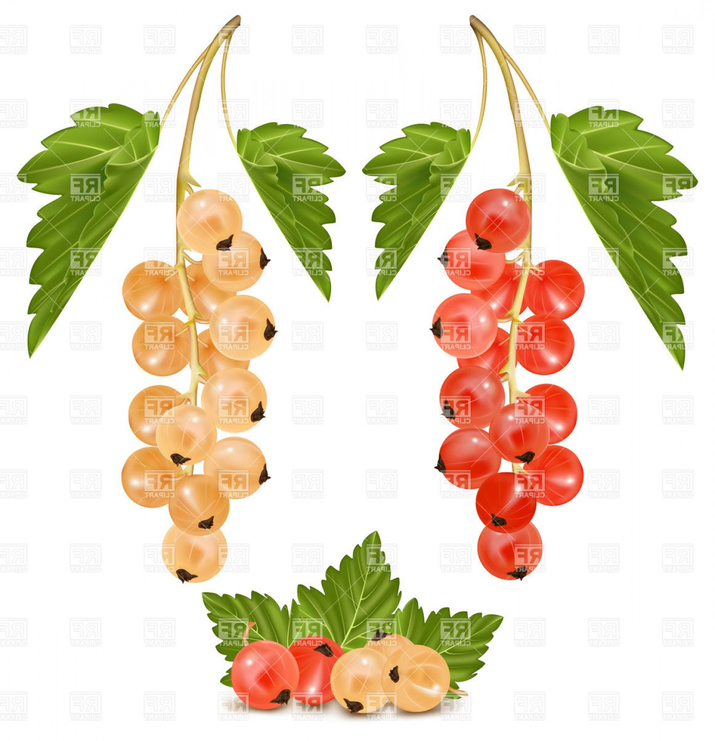 Red And White Currant Ripe Berries Vector Clipart Exclusive Layout.