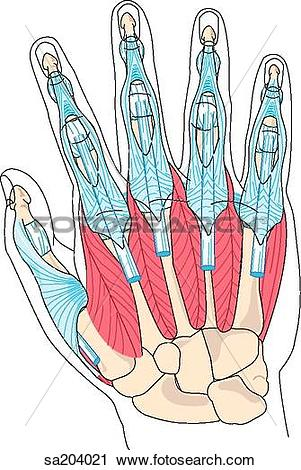 Clipart of Dorsal view of the muscles of the hand and the.