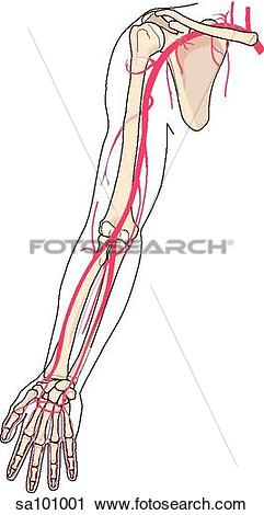 Clipart of The arteries of the arm shown in relation to underlying.