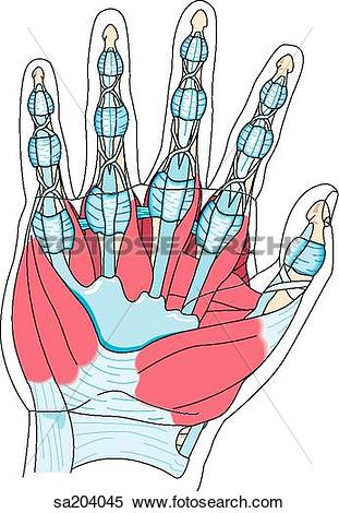 Stock Illustration of Palmar view of the muscles of the hand and.